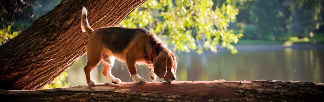 slide-beagle